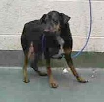 COOPER (A1674620) I am a male black and brown Miniature Pinscher. The shelter staff think I am about 2 years old and I weigh 10 pounds. I was found as a stray and I may be available for adoption on 01/27/2015. — hier: Miami Dade County Animal Services. https://www.facebook.com/urgentdogsofmiami/photos/pb.191859757515102.-2207520000.1422133687./915739545127116/?type=3&theater