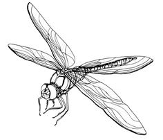 Line drawing of dragonfly. Could use for adult coloring!