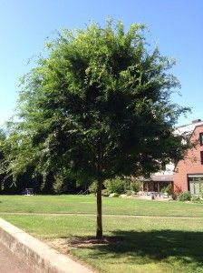 chinese elm - fast growing evergreen