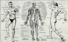 Original Vintage French Human Anatomy Chart Muscles by sandmarg