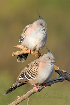 Crested Pigeon -   (Ocyphaps lophotes)