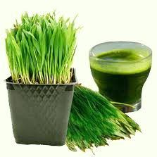Essential micronutrients in Wheatgrass helps to improve Immunity