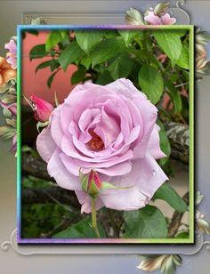 DIVAGAR SOBRE TUDO UM POUCO - Poemas, Flores, Pinturas, Férias: 🌹 Rosas do meu caminho