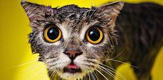 Gatti bagnati, una divertente galleria di 22 immagini