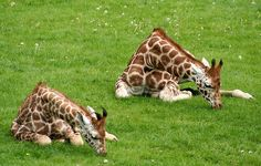 Giraffes in child's pose