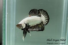 Black Dragon Plakat Betta