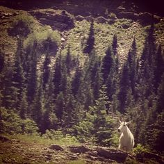 Mountain Goat on Logan Pass // Glacier National Park