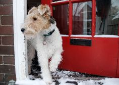 wirehaired fox  terrier. Stepping out on a winter's morning.