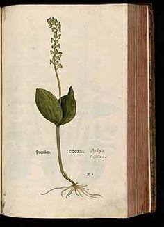 184737 Neottia ovata (L.) Bluff & Fingerh. [as Ophrys bifolia Lam.]  / Fuchs, L., New Kreüterbuch, t. 321 (1543)