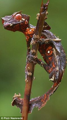 leaf-tailed gecko was observed in the Mantadia-Zahamena corridor of Madagascar in 1998