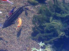 Gartenteich mit Koi (Regenbogenelritzen & Springbarsche) Tags: garden aquarium pond koi garten tier darter caeruleum schwarm aquaristik fischteich gartenteich zucht naturnah schwimmteich etheostoma notropis koiteich colorfire aquarienfisch chrosomus springbarsch rainbowshiner kaltwasserfisch teichfisch notropiszucht regenbogenelritzenzucht wildfische blauflossenorfe regenbogenorfe typwpcolorfire regenbogenshiner