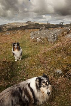 Collies enjoying Dartmoor, English countryside