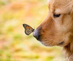 Golden+borboleta
