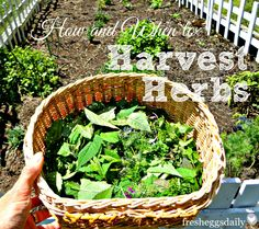 How and When to Harvest Herbs