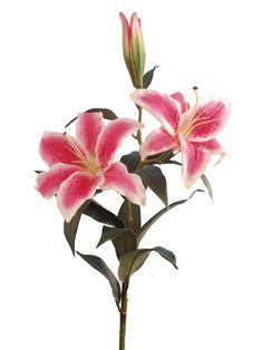 casa blanca lily - Google Search