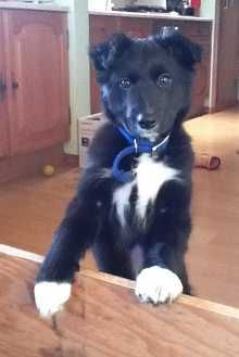 Jess, adorable collie x lab puppy. Learned the 'sit' command in a week.  Pedlars 106th Dog of the Week.