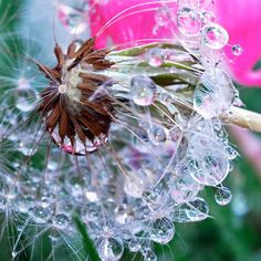 Dandelion Drop- want this framed for my daughter's room