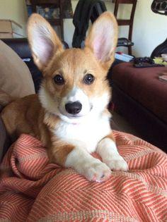 Look at those ears! #Corgi <3