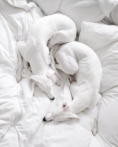 I really want an all over white Whippet Greyhound Art, Italian Greyhound, All Dogs, Dogs And Puppies, Doggies, Animals And Pets, Cute Animals, Whippet Dog, White Dogs