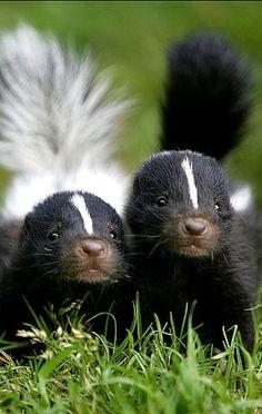 Sibling baby skunks    nature     wild life   #nature #wildlife  https://biopop.com/