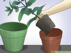 How to Grow Eucalyptus. Eucalyptus is a type of tree that's native to Australia, but that can grow anywhere that the temperatures don't drop below . There are actually many different species of eucalyptus, but they all have silvery leaves. Eucalyptus Plant Indoor, Eucalyptus Tree, Indoor Plants India, Garden Plants, Indoor Garden, Snake Plant Care, All About Plants, Fertilizer For Plants, Plants Are Friends