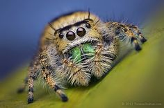 Female Jumping Spider - Phidippus workmani - Florida - Bugshot Workshop | Flickr - Photo Sharing!