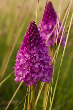 Pyramidal Orchid - Anacamptis pyramidalis, Isle of Wight's county flower - IW Tennyson Down Beautiful Flowers, Beautiful Orchids, Planting Flowers, Amazing Flowers, All Flowers, Beautiful Blooms, Rare Flowers, Flower Garden, Pretty Flowers