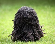 handsomedogs ... Sue Thatcher | Hungarian Puli with corded coat