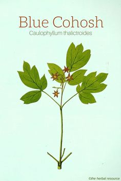 Blue Cohosh (Caulophyllum thalictroides) http://www.wartalooza.com/treatments/over-the-counter-wart-removers