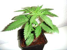 Planta lista para ser plantada al exterior