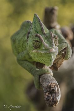 creatures-alive: Camaleon by Carolina Aparicio Veiled Chameleon, Chameleon Lizard, Les Reptiles, Reptiles And Amphibians, Types Of Chameleons, All Animals Pictures, Baby Animals, Cute Animals, Funny Frogs