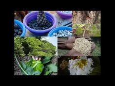 Medicinal Rice B4 Formulations for Arka Allergy: Pankaj Oudhia's Medicin...
