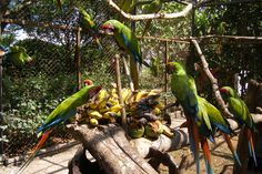 Love Volunteers' is seeking volunteers to help local communities in Costa Rica. Opportunities are available at a Macaw breeding centre where the main focus is to breed and raise Macaws for release, or you can live and work on an agro-ecological farm where you will be involved in many different aspects of a self-sufficient farm.