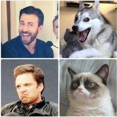 Captain America and Bucky Barnes, Grumpy Cat and Pun Dog || Chris Evans, Sebastian Stan || 640px × 641px || #cast #meme