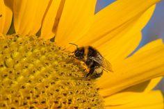 Sonnenblume, Blüte, Sommer, Gelb, Hummel, Nahaufnahme