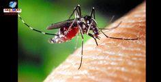 """O mosquito conhecido como """"tigre asiático"""" que pode transmitir dengue, Zika e outras doenças está se espalhando ao norte do Japão devido ao aquecimento global."""