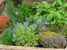 Tip of the Day Dress up the front entrance to your home by planting some flowering and fragrant plants in pots or in the garden. Lavender, marigolds, mint or pyrethrum daisies can look gorgeous, smell gorgeous and also help to deter insects like mozzies! Fragrant Plant, Herbs, Medicinal Plants, Fresh Herbs, Growing Herbs, Herb Garden, Outdoor Gardens, Container Gardening, Garden