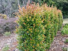 Syzygium australe 'Hinterland Gold' is good for hedging and screening Hedges Landscaping, Garden Hedges, Landscaping Ideas, Backyard Ideas, Garden Ideas, Screen Plants, Hedging Plants, Native Australians, Permaculture Design