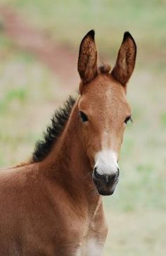 Cute baby mule :) gonna breed my QH mare for a mule baby, can't wait :D