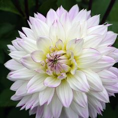 Crazy Love Crazy Love, Bloom, Plants, Summer, Flowers, Dahlias, Mad Love, Summer Time, Plant