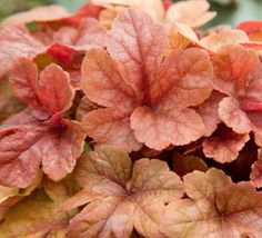 Caramel-dipped, deeply-cut maple leaves adorn this aptly named plant from spring to summer. In fall, the cool weather burnishes the leaves to a lovely rose red - a perfect complement to fall-planted containers. Grows into a medium sized mound that's perfect in the landscape. Try it in a vertical planting with contrasting purple-leaved varieties of Heuchera.
