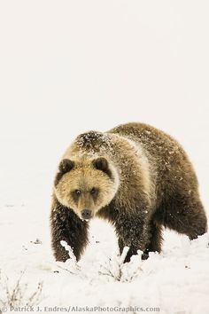 Grizzly bear stands on the on the snow covered turdra, Arctic coastal plains, Alaska
