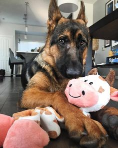 Is your dog one of these popular breeds? Is your dog one of these popular breeds? German Shepherd Memes, German Shepherd Pictures, German Shepherd Puppies, German Shepherds, Shiloh Shepherd, Most Popular Dog Breeds, Dog Care, Beautiful Dogs, Cute Baby Animals