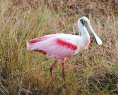 The lovely Roseate Spoonbill is a regular on our upcoming Florida itinerary (http://birdingecotours.com/tour/florida…).