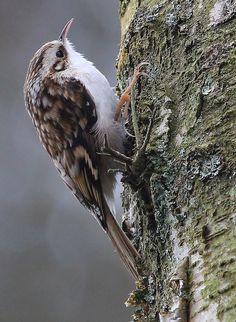 ♥ Treecreeper Pretty Birds, Beautiful Birds, Concerning Hobbits, British Garden, British Wildlife, Wild Creatures, Birds 2, Beautiful Songs, Creepers