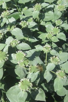 Mountain Mint (Pycnanthemum muticum) This SO POPULAR with pollinating insects. It blooms in late summer. USDA zone 4-8
