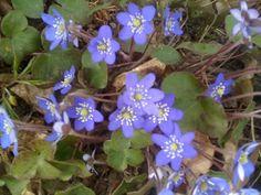 Blåsippa, spring flowers in Sweden