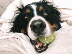 Now am I the good boy? Bernese Dog, Pet Shop Online, Boy Dog, Play, Twitter, Boys, Animals, Collars, Dog Stuff