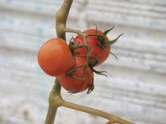 Nossos primeiros tomates orgânicos ®SKLindemann