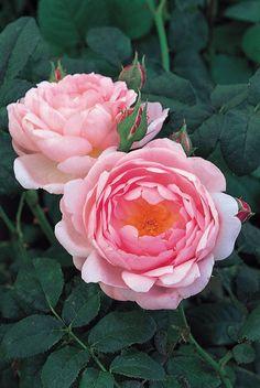 Buy rose Scepter'd Isle (shrub) Rosa 'Scepter'd Isle = 'Ausland' (PBR)'